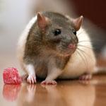 decorative-rat-1